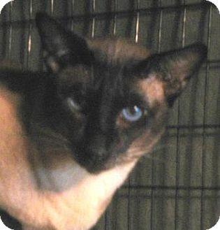 Siamese Cat for adoption in Vacaville, California - Tybalt