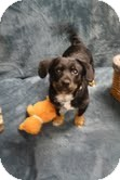 Dachshund Mix Puppy for Sale in Marietta, Georgia - Mikey