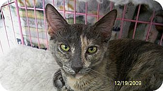 Domestic Shorthair Cat for adoption in Sacramento, California - Willow D