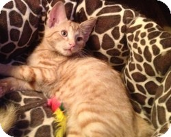 Domestic Shorthair Kitten for Sale in Murrysville, Pennsylvania - Snyder