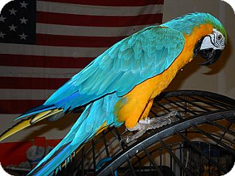 Macaw for Sale in Fountain Valley, California - Percy