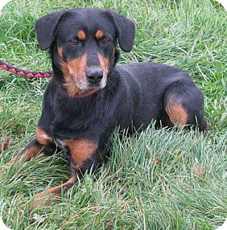 Rottweiler Mix Dog for Sale in Lisbon, Ohio - McGee