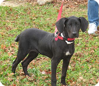 Great Dane/Hound (Unknown Type) Mix Puppy for Sale in Washington, D.C. - Blitzen