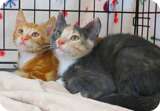 Domestic Shorthair Kitten for Sale in Merrifield, Virginia - Truffles