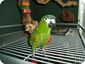 Macaw for adoption in Tampa, Florida - Kizmet