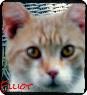 Domestic Shorthair Cat for Sale in Anywhere, Connecticut - Elliot