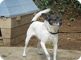 Rat Terrier Mix Dog for Sale in Chula Vista, California - Katie