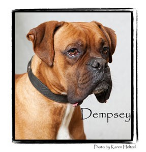 Boxer Dog for Sale in Warren, Pennsylvania - Dempsey
