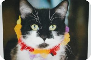 Domestic Shorthair Cat for Sale in Sacramento, California - Bonnie
