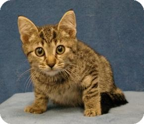 Domestic Shorthair Cat for Sale in Sacramento, California - Tony