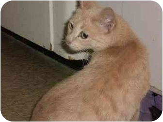 Egyptian Mau Cat for adoption in Culver City, California - Oprah 'Winnie' Winfrey
