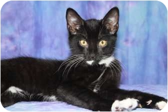 Domestic Shorthair Cat for adoption in Oxford, New York - Selim