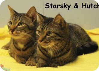 Domestic Shorthair Kitten for Sale in Merrifield, Virginia - Starsky & Hutch