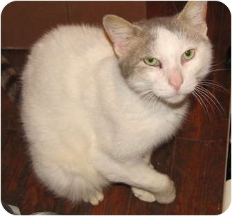 Domestic Shorthair Cat for adoption in New Egypt, New Jersey - Tommy