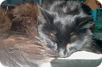 Domestic Longhair Cat for adoption in N. Berwick, Maine - Buffington
