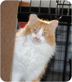 Maine Coon Cat for Sale in Palmdale, California - Jasper