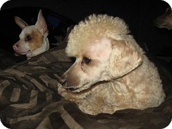 Poodle (Miniature) Mix Dog for adption in Glendale, Arizona - Stitch