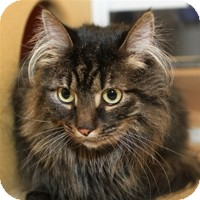 Domestic Longhair Cat for Sale in Albany, New York - Gilda