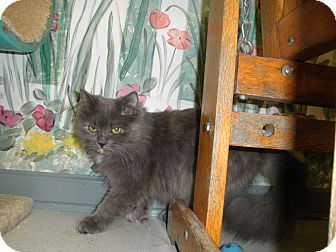 Domestic Longhair Cat for Sale in Milwaukee, Wisconsin - Zelda