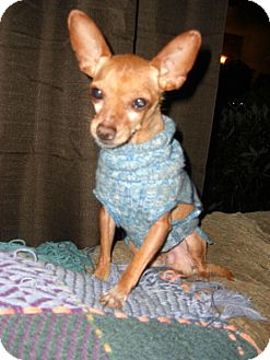 Chihuahua Mix Dog for Sale in Puyallup, Washington - Flex