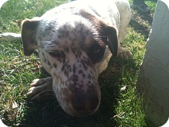 Catahoula Leopard Dog Mix Dog for Sale in NA, Oklahoma - Priscilla