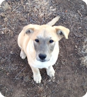 Labrador Retriever Mix Puppy for adption in Childress, Texas - Bart