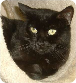 Polydactyl/Hemingway Cat for adoption in Las Vegas, Nevada - Licorice