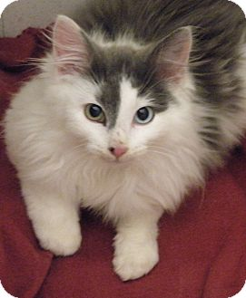 Domestic Longhair Kitten for Sale in Medford, Massachusetts - Motmot