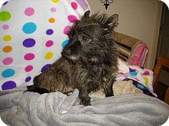 Cairn Terrier Mix Dog for Sale in Sheridan, Oregon - Dorothy