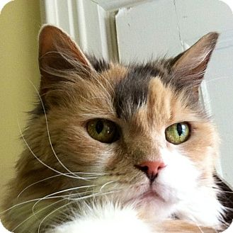 Calico Cat for adoption in Yarmouth, Maine - Baby