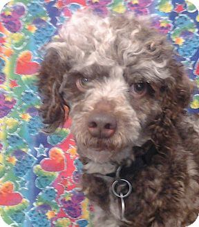 Poodle (Miniature) Mix Dog for Sale in London, Kentucky - Curly