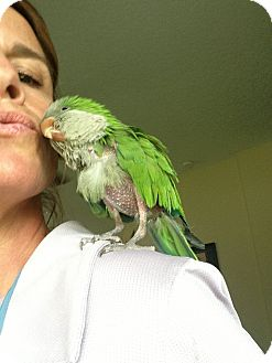 Parakeet - Quaker for adoption in Tampa, Florida - Baby