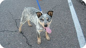 Australian Cattle Dog Mix Puppy for Sale in Scottsdale, Arizona - Levi