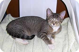 Domestic Shorthair Kitten for Sale in Richmond, Virginia - Minnie