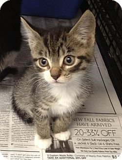 Domestic Shorthair Kitten for Sale in Oceanside, New York - Neko