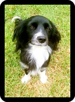 Cocker Spaniel Mix Dog for Sale in Irvine, California - CANDY