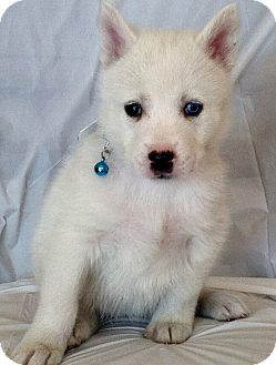Siberian Husky Puppy for Sale in Thousand Oaks, California - Sapphire
