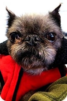 Brussels Griffon Dog for Sale in Princeton, Kentucky - Porky