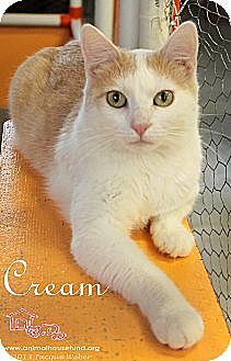 Domestic Shorthair Cat for adoption in St Louis, Missouri - Cream
