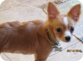 Chihuahua/Papillon Mix Dog for Sale in San Diego, California - Darcy