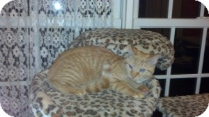 Domestic Shorthair Kitten for Sale in Raritan, New Jersey - Scamp
