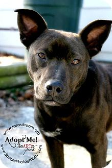 Labrador Retriever/Shar Pei Mix Dog for adption in Independence, Missouri - Kassidy