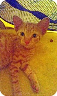 American Shorthair Kitten for adoption in Dillwyn, Virginia - Bud