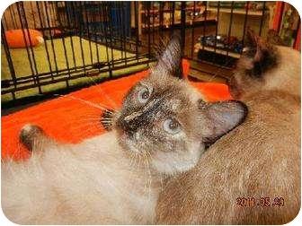 Siamese Cat for adoption in Powder Springs, Georgia - LYRIC