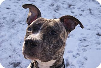 American Pit Bull Terrier Dog for Sale in Chicago, Illinois - DIVA