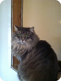 Maine Coon Cat for Sale in South Chesterfield, Virginia - Savannah