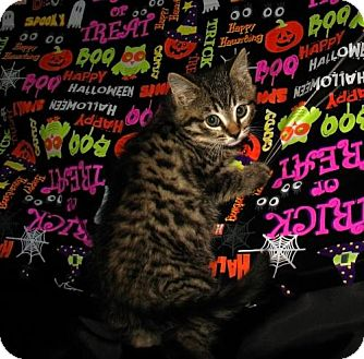 Domestic Shorthair Kitten for Sale in Oxford, New York - Cal