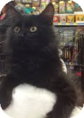 Domestic Mediumhair Kitten for Sale in Modesto, California - Wiley