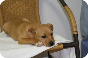 Labrador Retriever/Boxer Mix Puppy for Sale in Marlton, New Jersey - Rosie