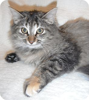 Domestic Longhair Kitten for Sale in Jackson, Michigan - Cleo